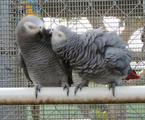 African grey congo parrot 3 years old PAIR, price for both