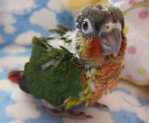 Baby Conures for sale. Green Cheek/Yellow Sided/Green Cheek