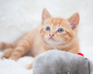 Ginny rescue kitten NK4240 VET WORK INCLUDED