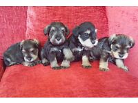 Male Pedigree Miniature Schnauzer pups - KC registered