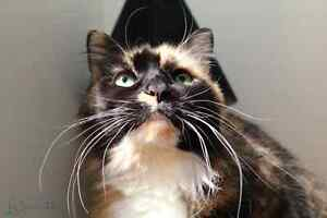 Syber rescue CAT available for adoption VET WORK INCLUDED Bertram Kwinana Area Preview