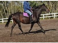 16.2hh TB mare for share