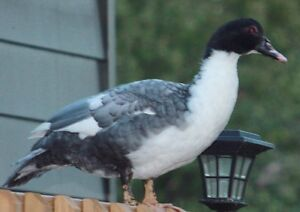 """LOST - Young Muscovy hen """"Opal"""" - TIME IS RUNNING OUT!"""