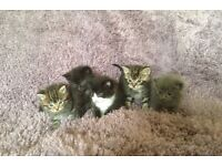 Kittens British blue X