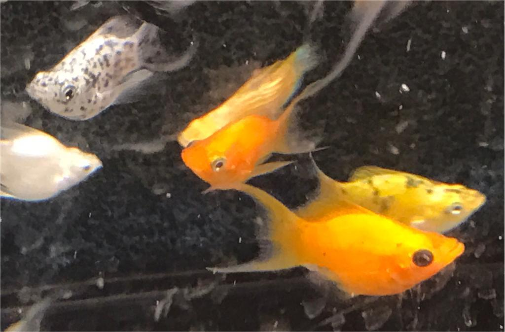 Lyre tail balloon molly peaceful community tropical fish