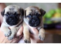 JUG PUPPY'S FOR SALE