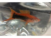 Swordtail fish free to good home