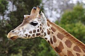 Giraffe for sale