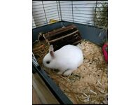 Netherland dwarf white male rabbit