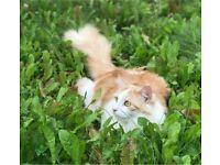 Ragdoll Maine Coon Cat