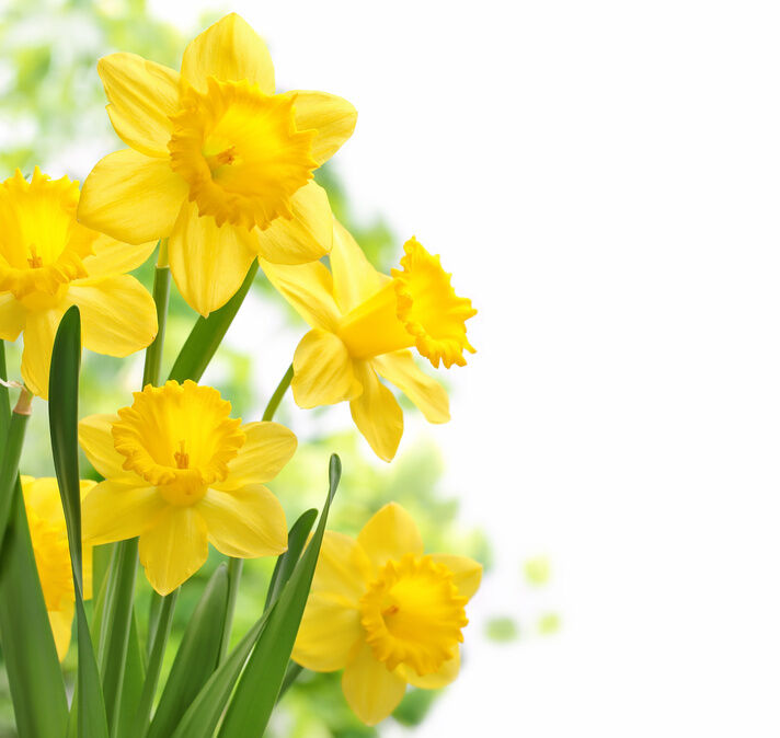 Daffodils Are Often The First Flowers To Bloom After Winter Is Over So Planting Some Bulbs In Your Yard Or Garden Even