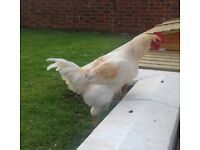 California White Rooster chicken
