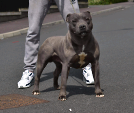 Blue Staffordshire kennel club registered