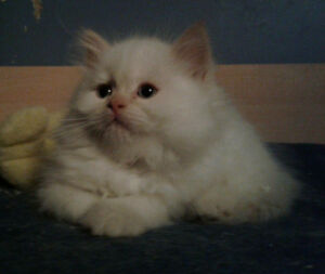chaton himalayen