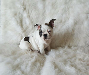 Blue & White Frenchton (French Bulldog X Boston Terrier)Puppies.