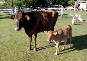 WOODFORD Q VERY QUIET GRASS EATER and calf (REDUCED) Brisbane City Brisbane North West Preview