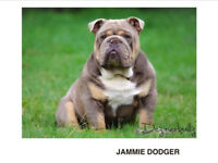 *Reduced* Kennel Club Registered English Bulldog Puppies
