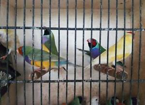 Gouldian finches ... aviary bred normal pairs & spare males Padstow Bankstown Area Preview