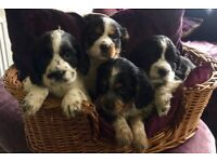 Gorgeous Cocker Spaniel Puppies Now Available