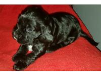 Reduced. Black cocker spaniel bitch. Last of litter