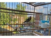Hybrid cocks for sale- goldfinch canary cross