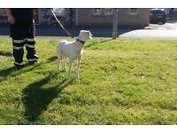 Saluki greyhound dog!!
