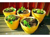Kids Gardening | Round Stone Pot + Fast-Easy-Grow Sweet Strawberry Plant