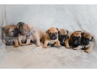 Gorgeous French bulldog puppies for sale