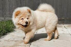 Cream Chow Chow Females KC Registered