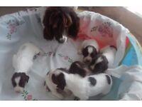 English Springer Spaniel Puppies KC Registered