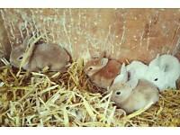 Purebred Mini Rex Baby Rabbits