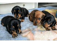 KC registered miniature dachshund puppies