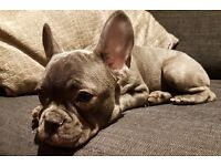 *Adorable Blue French Bulldog Female Puppy*
