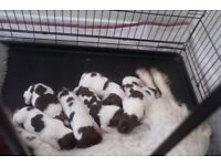 English Springer Spaniel Puppies For Sale KC Registered