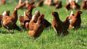 Looking for Laying Hens