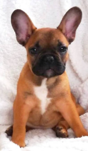 Pure Bred French Bulldog Puppies Ready to go!!
