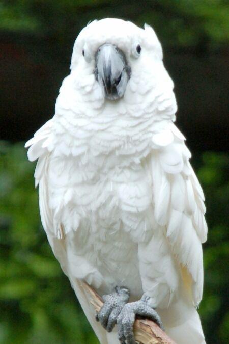 5-6 Years Old Cockatoo Missing in Waterloo Estate, Poole, BH17