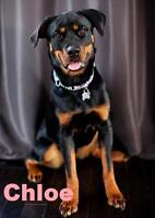 "Young Female Dog - Rottweiler: ""Chloe - Loves to Exercise!"""
