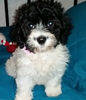 Schnoodle Pups
