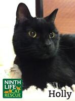 """Adult Female Cat - Domestic Short Hair: """"Holly"""""""