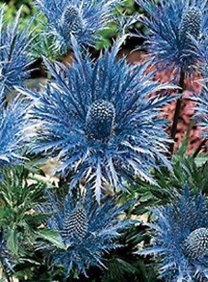 30+ Metalic Blue Sea Holly Flower Seeds / Eryngium / Perennial