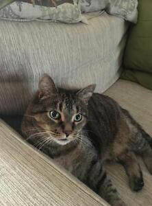 "Adult Male Cat - Tabby - Brown: ""Cookie"""