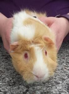 "Adult Male Small & Furry - Guinea Pig: ""Elton"""