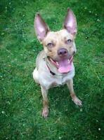 "Young Female Dog - Pit Bull Terrier: ""Stella"""