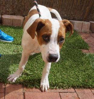PUPPY FOR ADOPTION! COME MEET HER SAT 5 SEP 9-1 Malaga Swan Area Preview