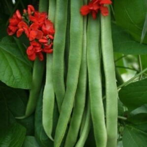 Image result for runner bean plants
