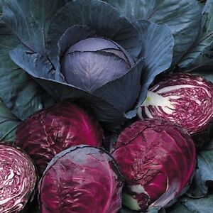 Cabbage Red Drumhead Min 500 seeds - Vegetables/Fruits