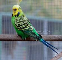 English Budgie Hens Kenmore Brisbane North West Preview