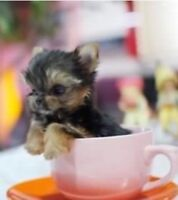 True Teacups *Micro Authentic* Yorkie Yorkshire Terrier Puppies