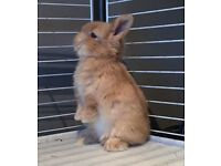 Pure bred mini lop doe 8 weeks old